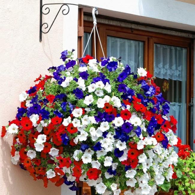 Благодаря гибким ветвям, усыпанными цветками, петуния ампельная стала любимицей  фитодизайнеров