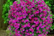 Фото 26 Петуния: посадка и уход (70 фото) — раскрываем тайны красивого цветка