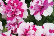 Фото 32 Петуния: посадка и уход (70 фото) — раскрываем тайны красивого цветка