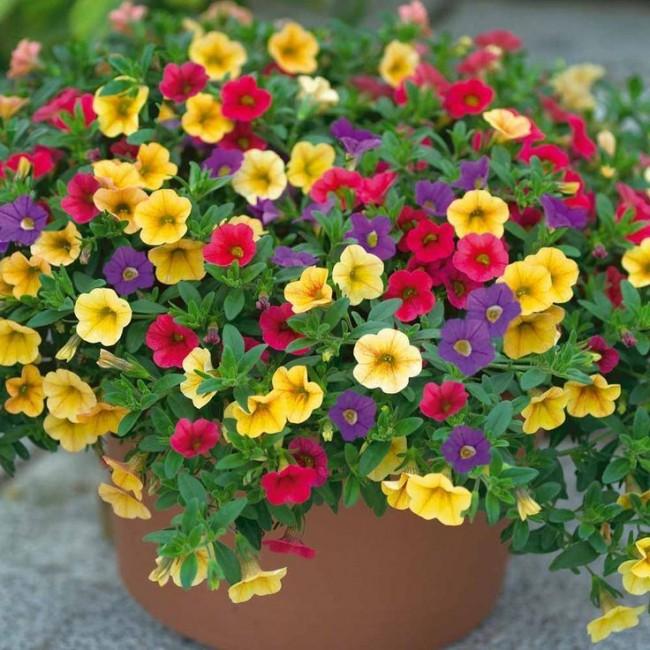 Красивый пышный куст разноцветных петуний