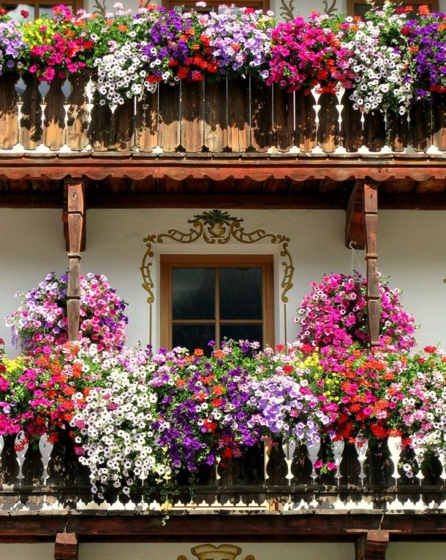Богатое украшение фасада дома - множество разноцветных кустов петунии