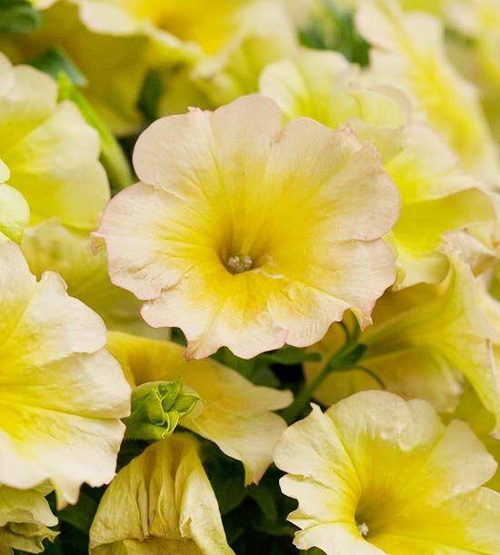 Яркая, пышная, красивая петунии нежно-желтого цвета