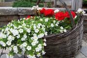 Фото 38 Петуния: посадка и уход (70 фото) — раскрываем тайны красивого цветка