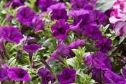 Фото 40 Петуния: посадка и уход (70 фото) — раскрываем тайны красивого цветка