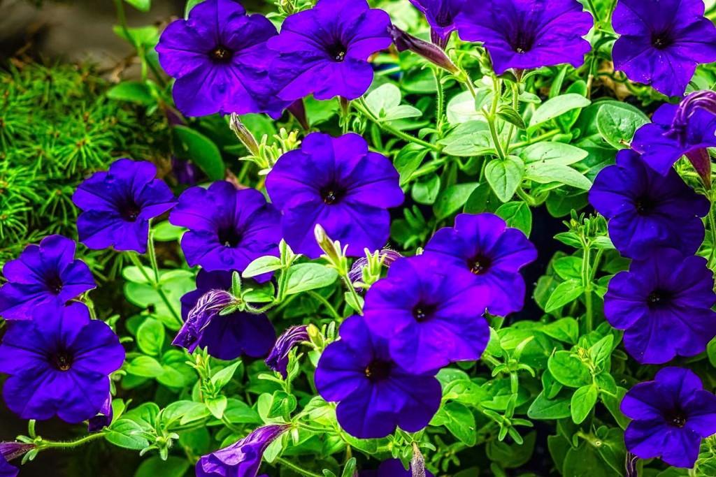 Петуния многоцветковая уход и выращивание