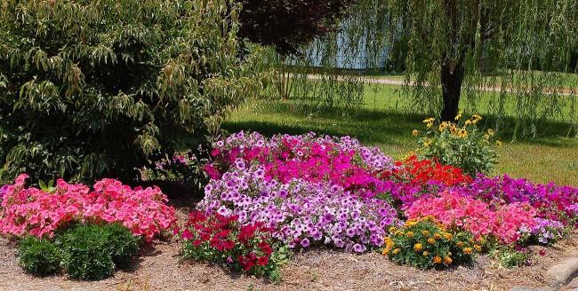 Уход и забота обеспечат вам красивые, здоровые цветы петунии
