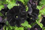 Фото 42 Петуния: посадка и уход (70 фото) — раскрываем тайны красивого цветка