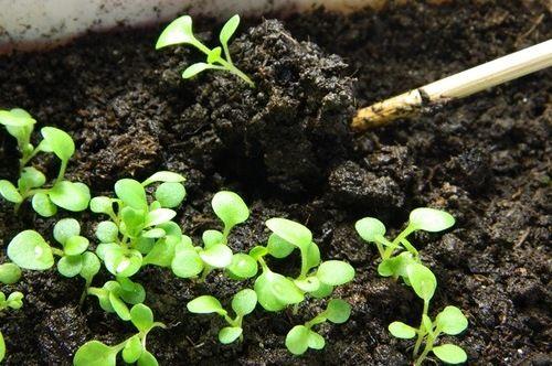 Пикировка ростков петунии