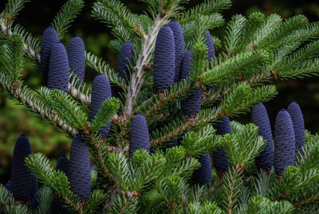 """Продолжение """"рода"""" у пихты осуществляется посредством семян, которые добываются из шишек"""