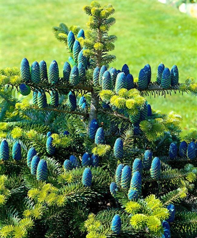 Это дерево радует своими расцветками на протяжении всего года