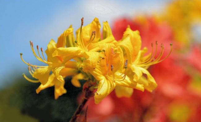 Азалия – это красивоцветущий многолетний кустарник
