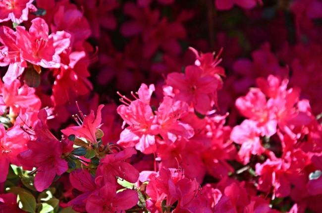 Азалия считается одним из самых красивых комнатных растений