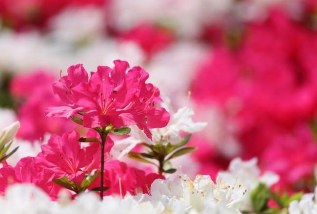 Азалия - красивое, но с гордым характером растение