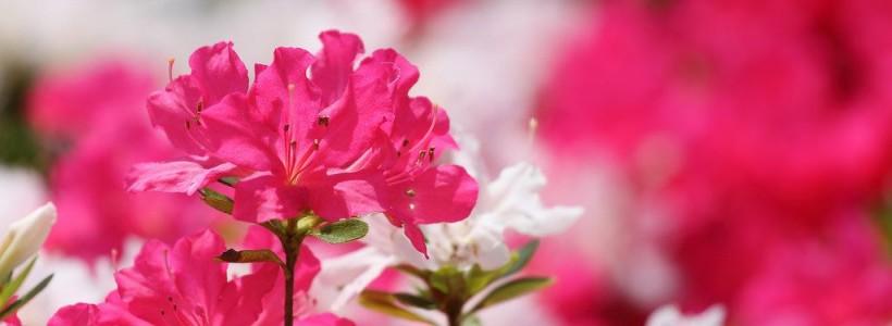 Рододендрон (азалия): уход в домашних условиях (59 фото)