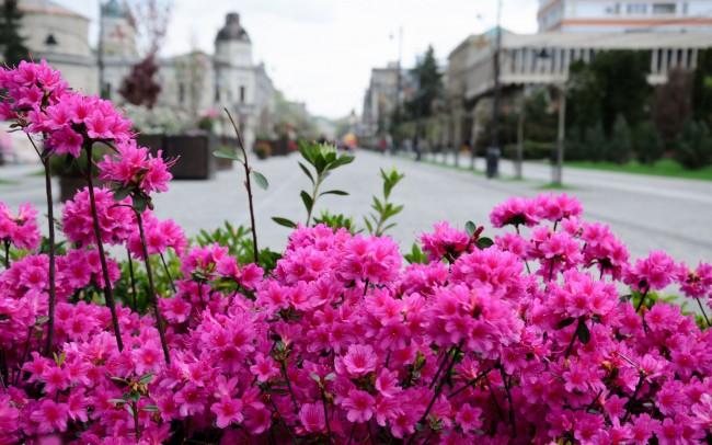 """Пышно цветущий кустарник рододендрона """"Катевбинский"""""""