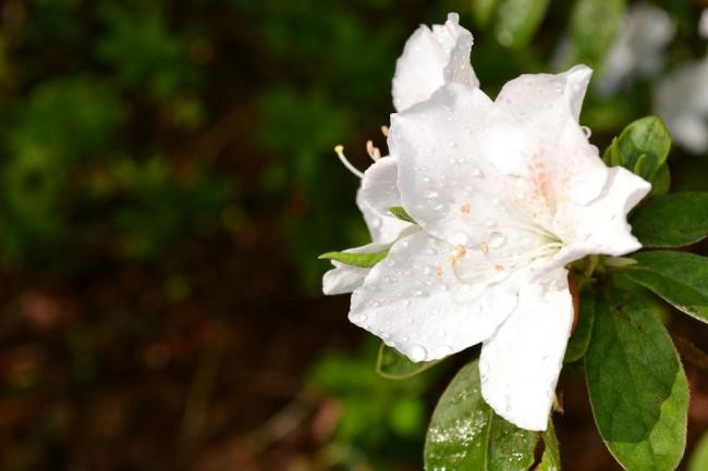 """Рододендрон """"Peter Tigerstedt"""" со своими белоснежными цветками"""