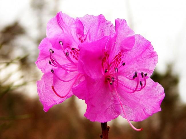 Красота цветка азалии не перестает удивлять