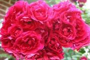 Фото 11 Роза флорибунда (100 фото): сорта, названия, посадка, уход, размножение