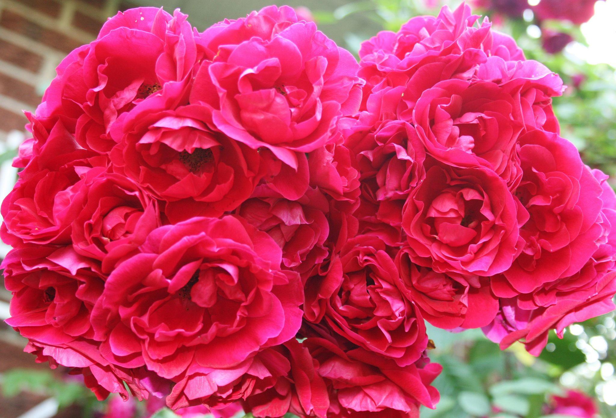 Роза флорибунда выращивание и уход фото