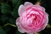 Фото 7 Роза флорибунда (100 фото): сорта, названия, посадка, уход, размножение