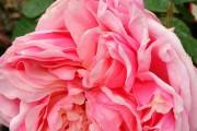 Фото 10 Роза флорибунда (100 фото): сорта, названия, посадка, уход, размножение