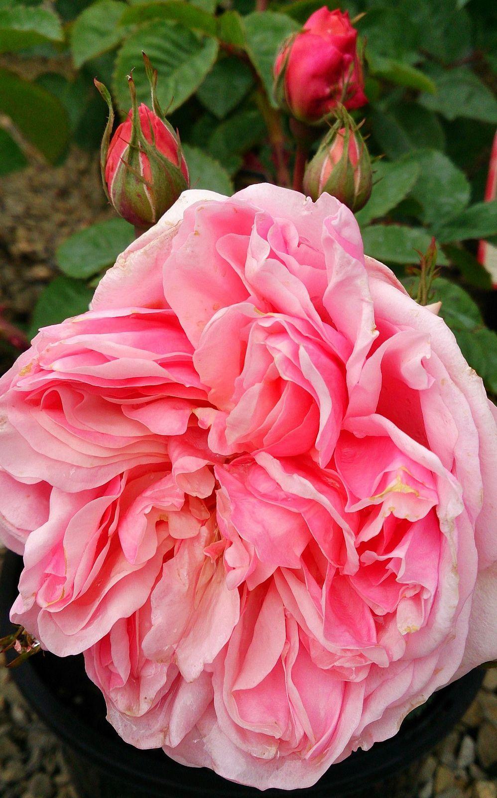 Розы флорибунда выращивание и уход в сибири 67