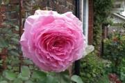 Фото 14 Роза флорибунда (100 фото): сорта, названия, посадка, уход, размножение