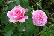 Фото 15 Роза флорибунда (100 фото): сорта, названия, посадка, уход, размножение