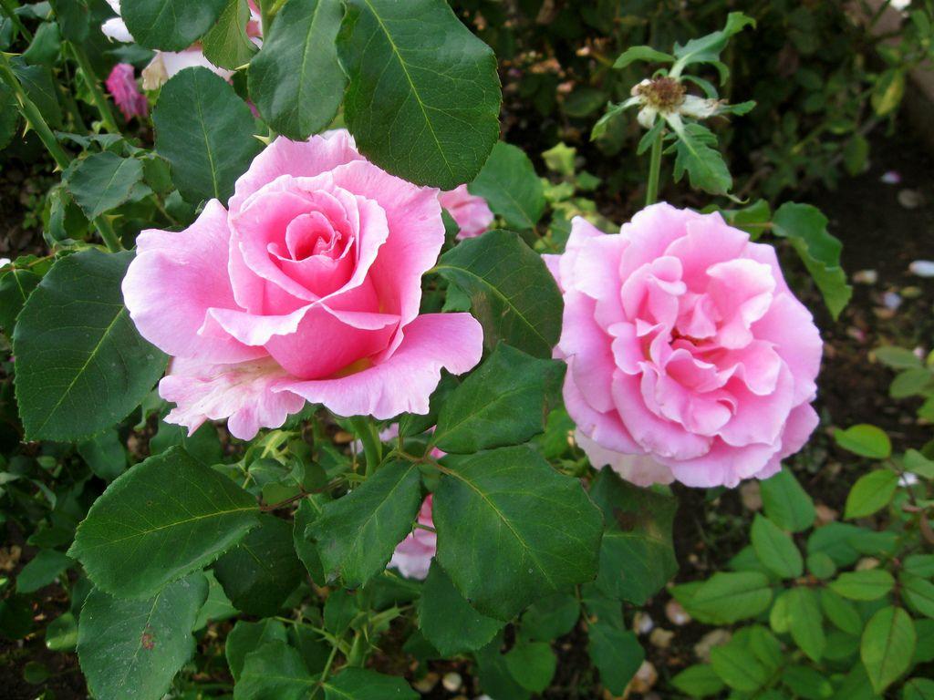 Когда сажать розы флорибунда 34