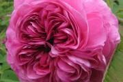 Фото 16 Роза флорибунда (100 фото): сорта, названия, посадка, уход, размножение