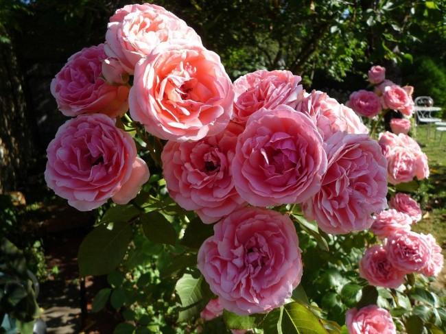 Крупноцветковая флорибунда кимоно прекрасного розово-персикового цвета