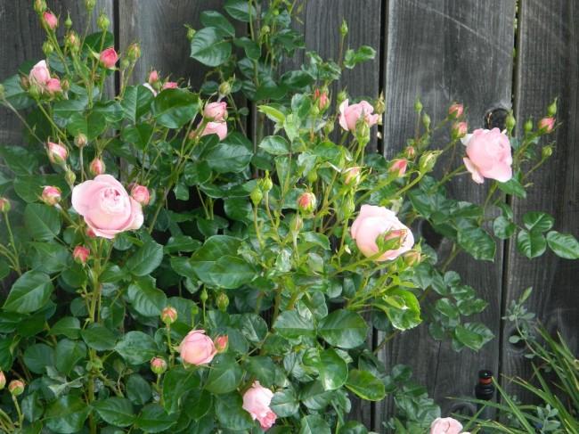 Нежная роза украсит собой любой неприглядный элемент сада
