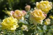 Фото 54 Роза флорибунда (100 фото): сорта, названия, посадка, уход, размножение