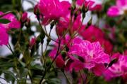 Фото 57 Роза флорибунда (100 фото): сорта, названия, посадка, уход, размножение