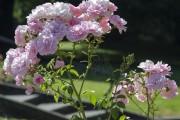 Фото 58 Роза флорибунда (100 фото): сорта, названия, посадка, уход, размножение