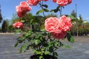 Фото 17 Роза флорибунда (100 фото): сорта, названия, посадка, уход, размножение