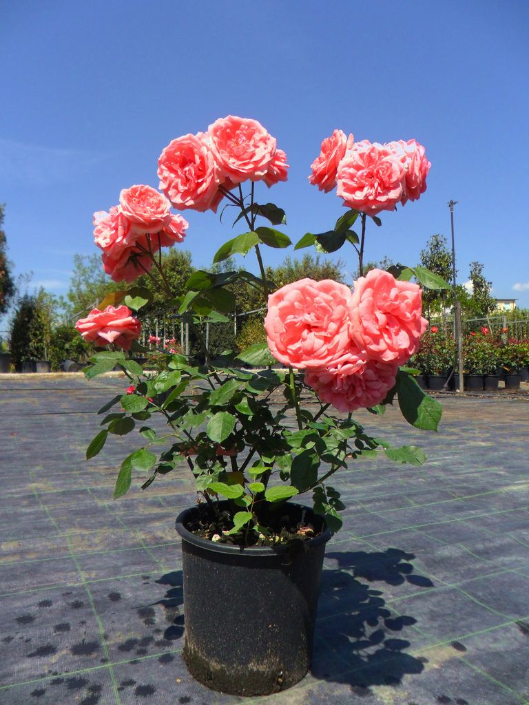 Розы флорибунда выращивание и уход в сибири 21