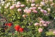Фото 60 Роза флорибунда (100 фото): сорта, названия, посадка, уход, размножение