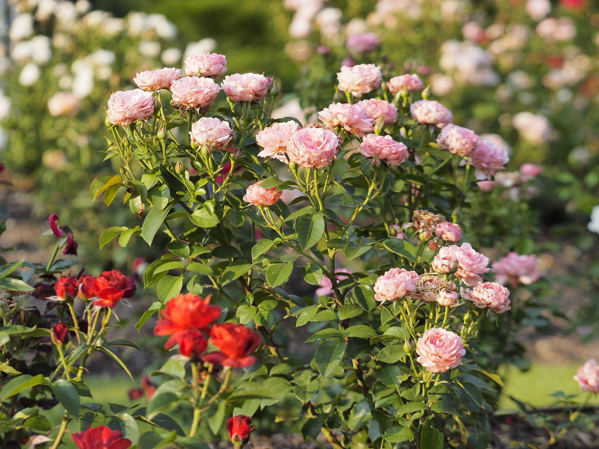 Розы флорибунда выращивание и уход в сибири 65