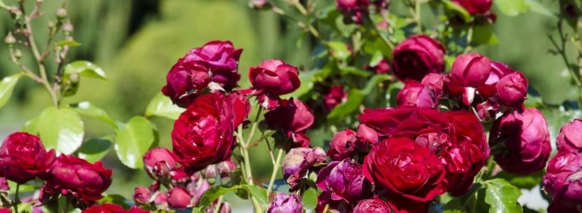 Роза флорибунда (100 фото): сорта, названия, посадка, уход, размножение