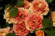 Фото 63 Роза флорибунда (100 фото): сорта, названия, посадка, уход, размножение