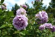 Фото 64 Роза флорибунда (100 фото): сорта, названия, посадка, уход, размножение