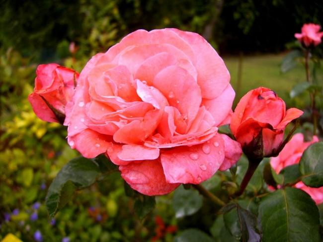 Нежнейшая коралловая роза флорибунда