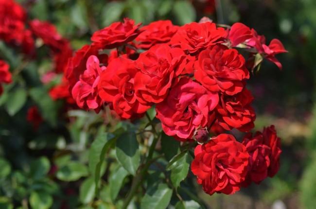Алая сказка в вашем саду - Нина Вейбул