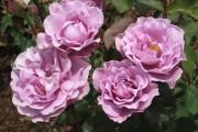 Фото 68 Роза флорибунда (100 фото): сорта, названия, посадка, уход, размножение