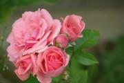 Фото 21 Роза флорибунда (100 фото): сорта, названия, посадка, уход, размножение