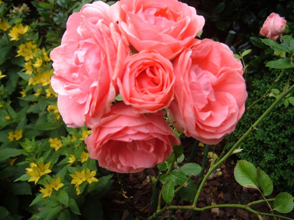 Розы флорибунда выращивание и уход в сибири 23