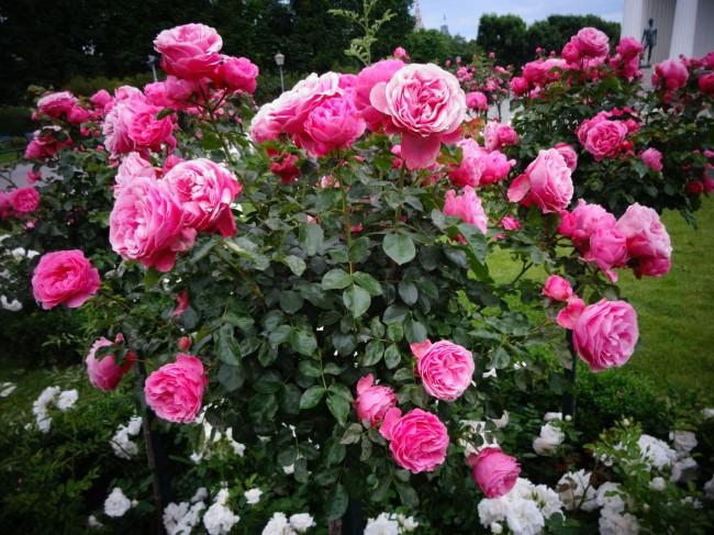 Флорибунда подарит вашему саду поистине роскошный вид и чудесный аромат