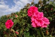 Фото 20 Роза флорибунда (100 фото): сорта, названия, посадка, уход, размножение