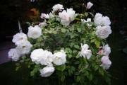 Фото 18 Роза флорибунда (100 фото): сорта, названия, посадка, уход, размножение